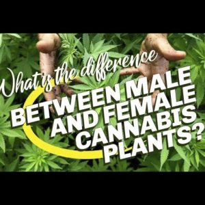 What Is The Difference Between Female And Male Cannabis Plants.