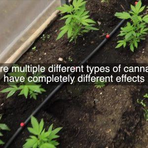 Hemp vs Marijuana.