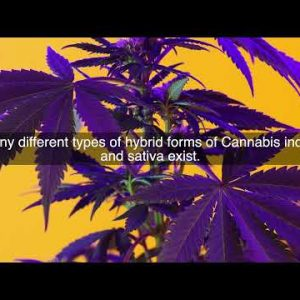 What is the difference between indica and sativa?
