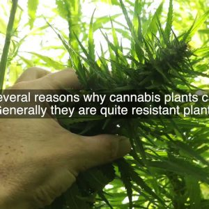 How to Prevent Cannabis from Heat Stress?